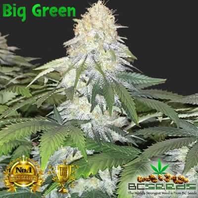 Big Green Weed Seeds