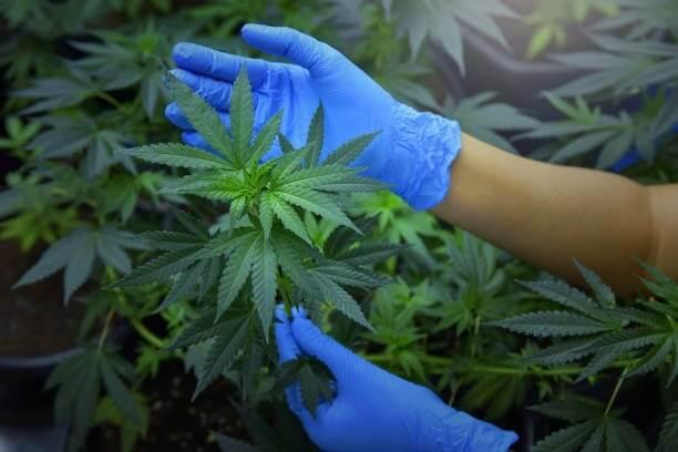 Male and Female Cannabis